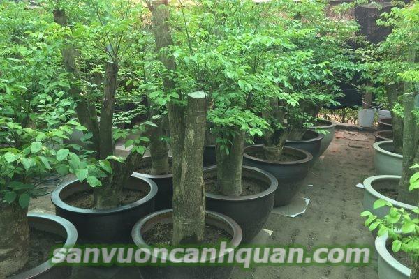 cay-hanh-phuc-1-600x400 Cây hạnh phúc giúp bạn hạnh phúc gia đình bạn viên mãn