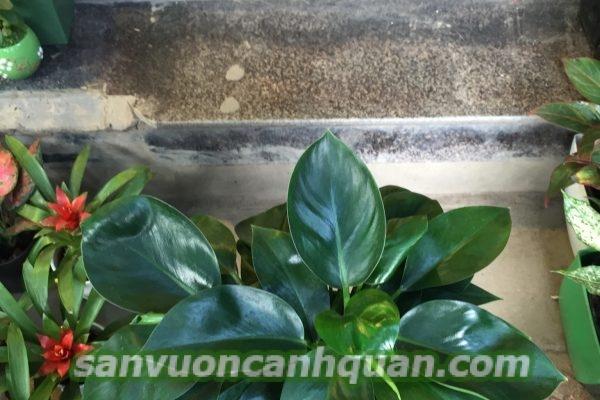 cay-de-vuong-1-600x400 Cây đế vương biểu tượng của sự quền uy giúp gia chủ thăng tiến