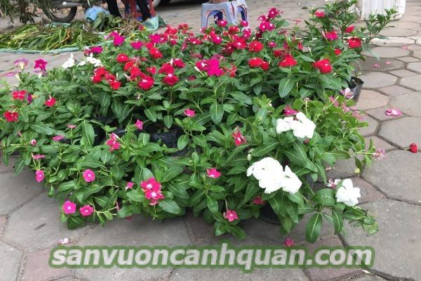 cay-hoa-dua-can-2-600x400 Cây hoa dừa cạn vừa phong thủy vừa là cây thuốc chữa bệnh rất tốt