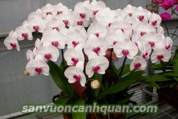 cay-hoa-lan-ho-diep-1-1-500x400 Cây hoa lan hồ điệp mùi hương dễ chịu tô điểm căn phòng bạn