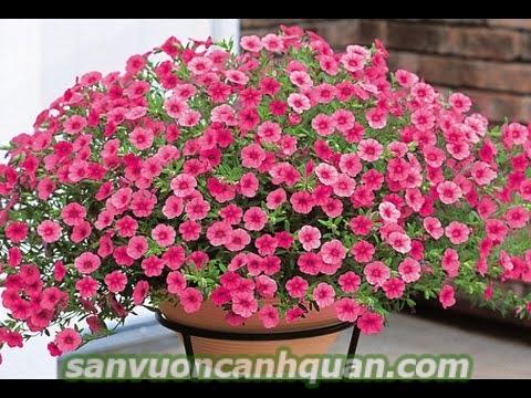 cay-hoa-trieu-chuong-1-600x400 Trồng cây hoa triệu chuông sẽ tô điểm không gian của bạn bằng những bông hoa sắc màu