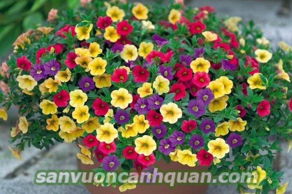 Trồng cây hoa triệu chuông sẽ tô điểm không gian của bạn bằng những bông hoa sắc màu hình 5