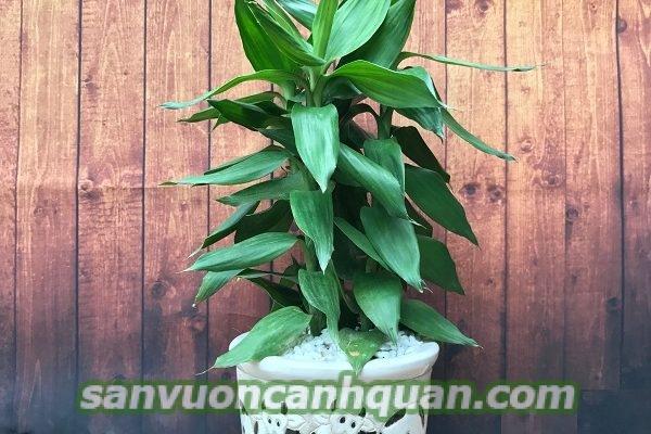 cay-phong-thuy-1-600x400 Những cây phong thủy tuyệt vời mang tài lộc may mắn đến với gia chủ