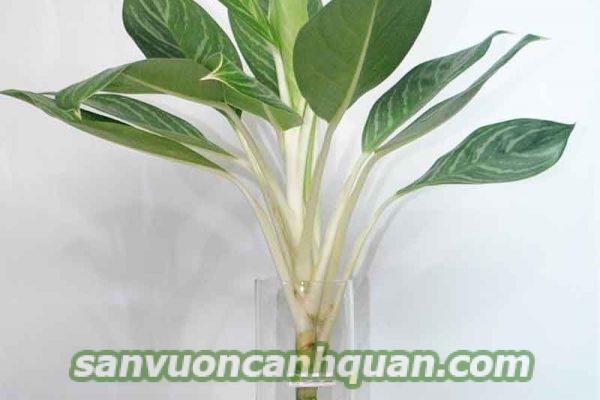cay-thuy-canh-1-600x400 Cây thủy canh được người trồng ưa thích vì dễ chăm sóc lại đẹp
