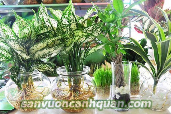 Cây thủy canh được người trồng ưa thích vì dễ chăm sóc lại đẹp hình 5