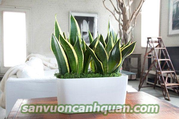 cay-trong-nha-1 Gợi ý những cây trong nhà vừa đẹp lại loại bỏ khí độc khỏi nhà bạn