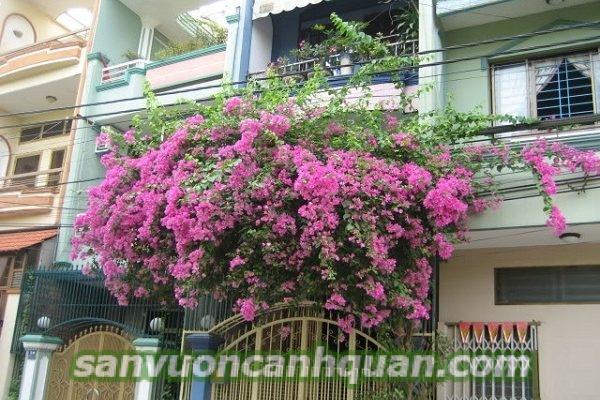 hoa-ban-cong-1-600x400 Những cây hoa ban công sắc màu tô điểm căn nhà bạn