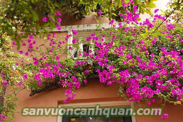 Những cây hoa ban công sắc màu tô điểm căn nhà bạn hình 5