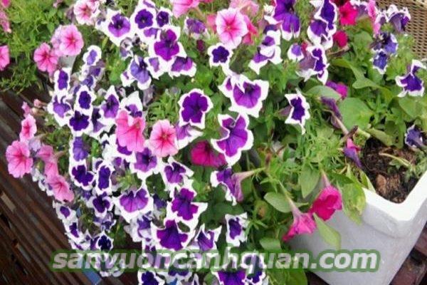 Cây hoa dạ yến thảo được nhiều người ưa thích vì màu sắc sặc sỡ và nhiều công dụng hình 5